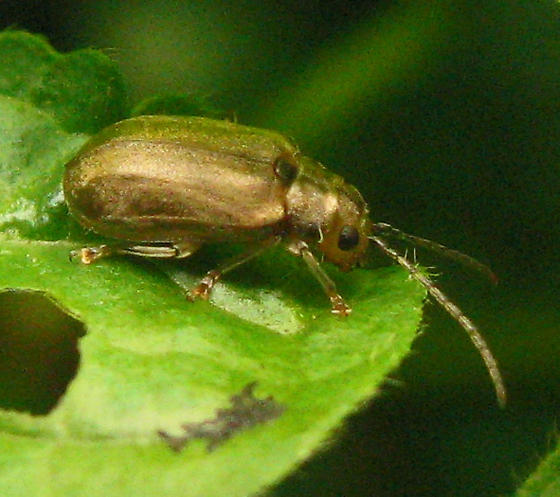 Golden leaf beetle - Pyrrhalta viburni