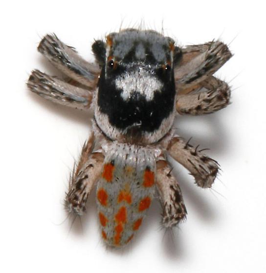 Maevia poultoni - dead dorsal - Paramaevia poultoni - male