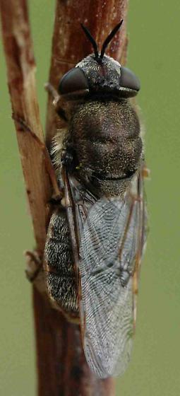 fly (Stratiomyidae) - Odontomyia