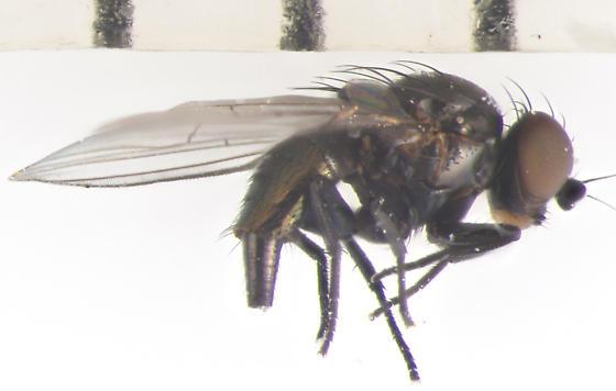 Agromyzidae, lateral - female