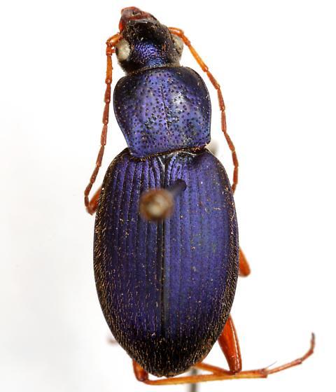 Chlaenius cumatilis LeConte - Chlaenius cumatilis