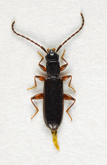 Dendrophagus cygnaei.... - Dendrophagus cygnaei