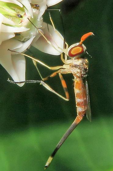 Stylogaster neglecta - female
