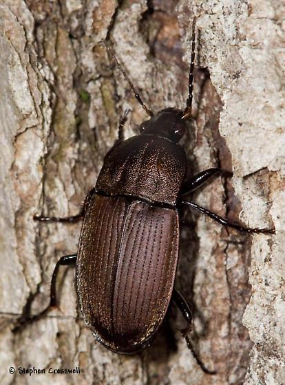 Ground Beetle off the ground - Chlaenius tomentosus