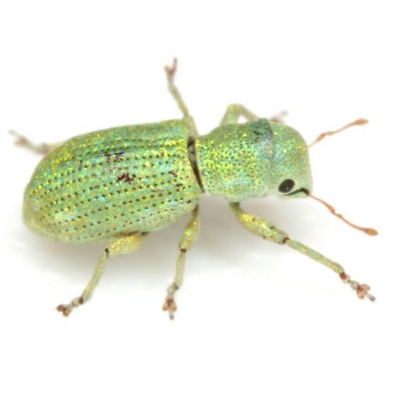 Pandeleteinus submetallicus (Schaeffer) - Pandeleteinus submetallicus