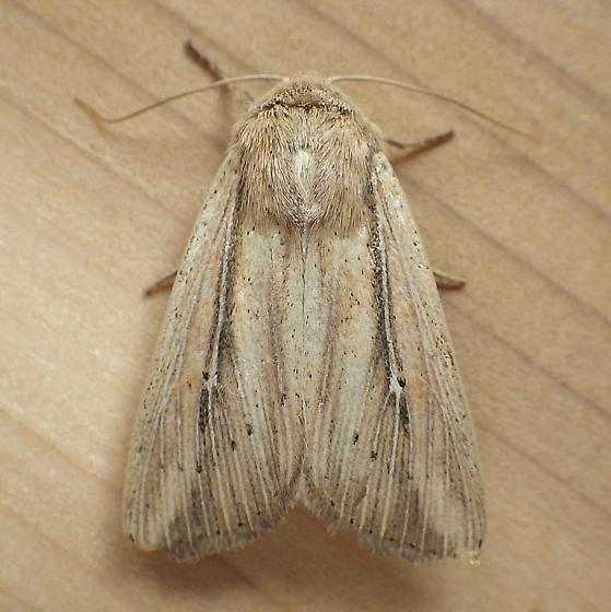 Noctuidae: Leucania phragmitidicola? - Leucania phragmitidicola