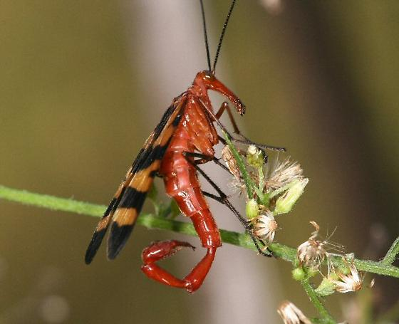 Scorpion fly male - Panorpa nuptialis - male