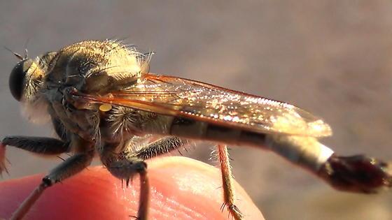 Robber Monster (sunlight lateral) - Efferia albibarbis - male