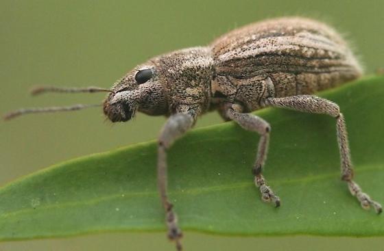 Beetle - Naupactus genus - Naupactus