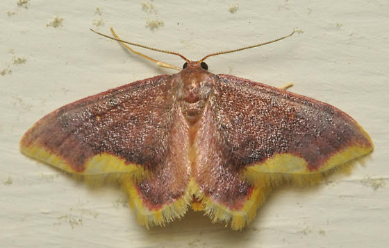Purple and yellow moth - Lophosis labeculata