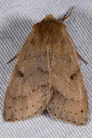 unknown  moth - Orthosia arthrolita