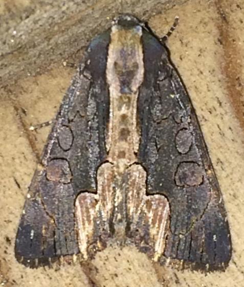 Moth 6/16.5 - Dypterygia rozmani
