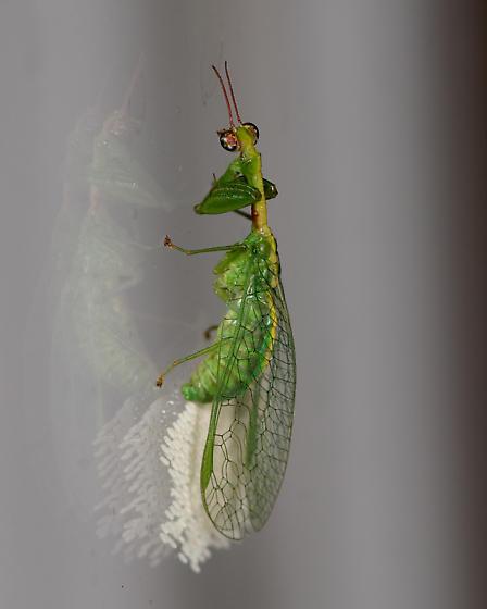 Zeugomantispa minuta - Green Mantisfly? laying eggs - Zeugomantispa minuta - female