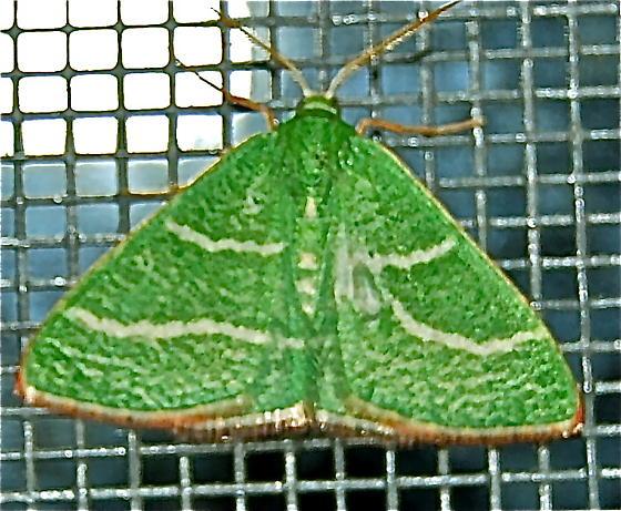 Emerald  - Nemoria intensaria