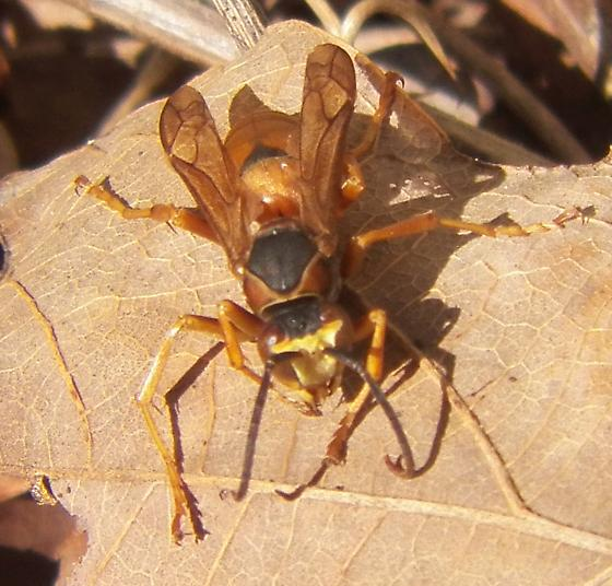 Wasp 111915 - Polistes rubiginosus - male