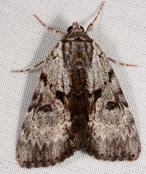 Catocala andromedae
