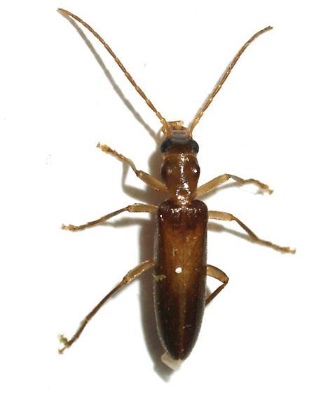 Oedemeridae - Oxacis