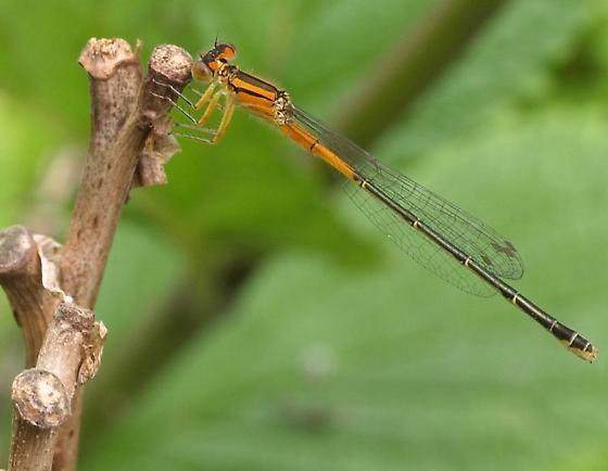 Orange damselfly - enallagma signatum? - Ischnura verticalis