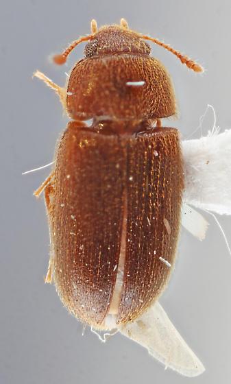 Chiriaco-0J01 - Typhaea stercorea