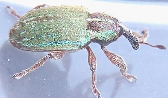 Hypera nigrirostris - Black-beaked Green Weevil ? - Hypera nigrirostris