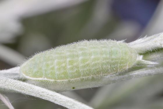Larva - Plebejus icarioides