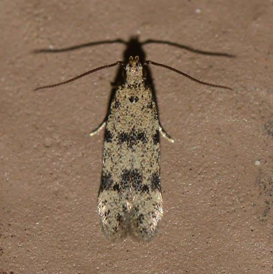 unknown, probably Gelechiid