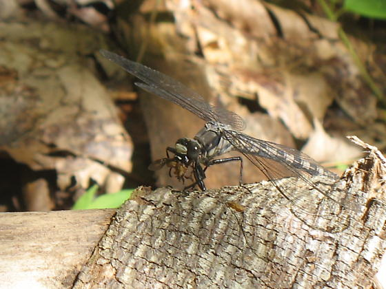 Dragonfly 1 - Tachopteryx thoreyi
