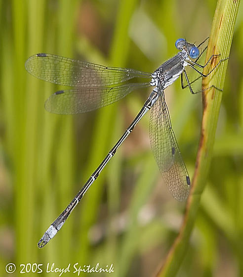 Sweetflag Spreadwing - Lestes forcipatus - male