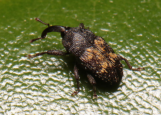 Weevil for ID - Glyptobaris lecontei