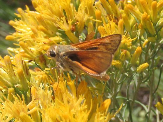 Hesperia leonardus montana - Hesperia leonardus - male