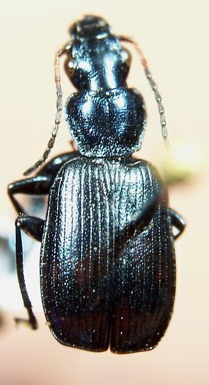 Philophuga viridis amoena (LeConte, 1846) - Philophuga viridis - male