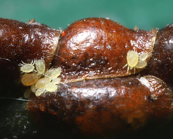 Mites with Scale Insects