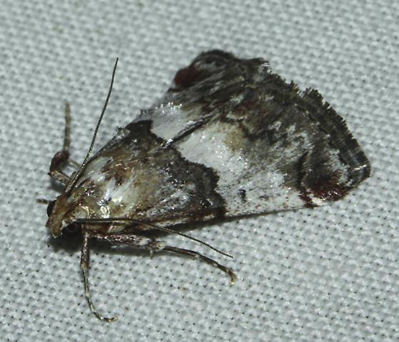 Possible Toripalpus breviornatalis - Toripalpus breviornatalis
