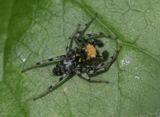 Spider - Maevia a