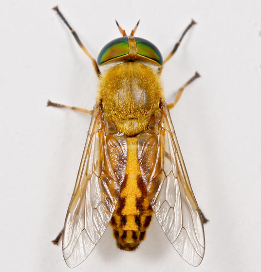 BG1688 E1496 - Tabanus fulvulus - female