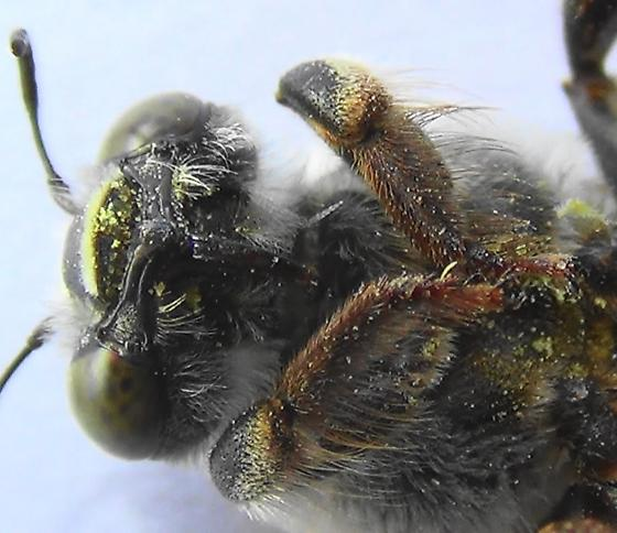 The Pale Bee (ventral head) - Centris pallida - female
