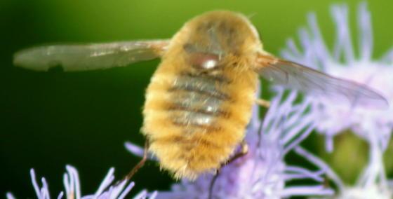 Fuzz Ball Bee Fly - Systoechus solitus