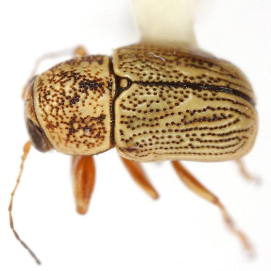 Pachybrachis caelatus LeConte - Pachybrachis caelatus - male