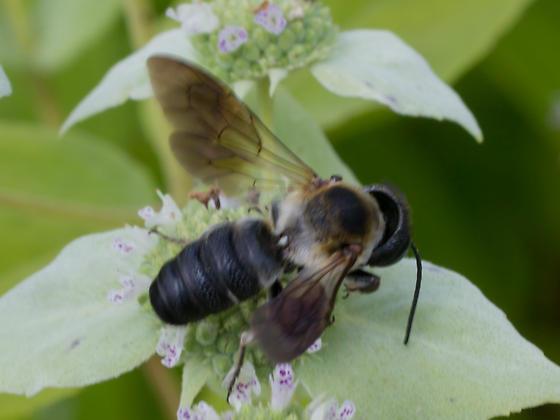 Barrel-abdomened bee - Megachile sculpturalis - male