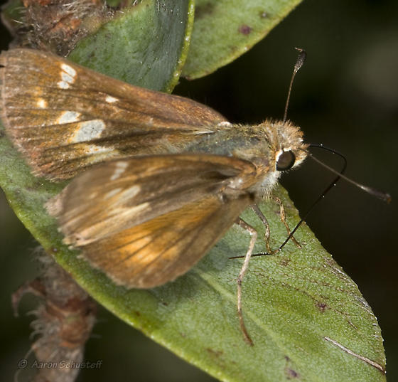 Umber Skipper from Berkeley - Poanes melane