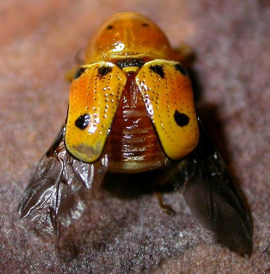Leaf beetle? - Griburius larvatus