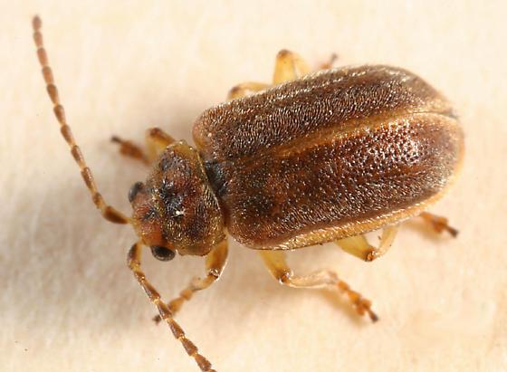 leaf beetle - Tricholochmaea