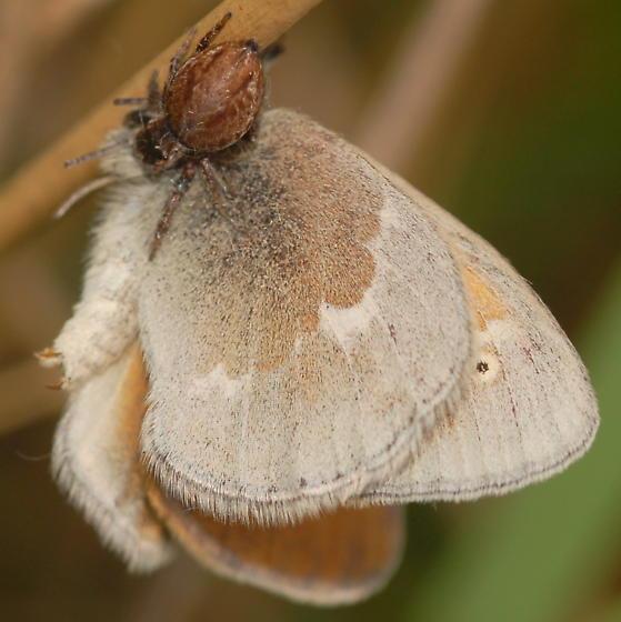 Jumping spider eating common ringlet - Evarcha hoyi