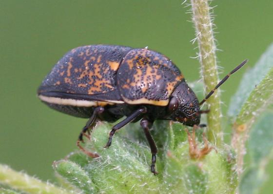 Shieldbacked bug