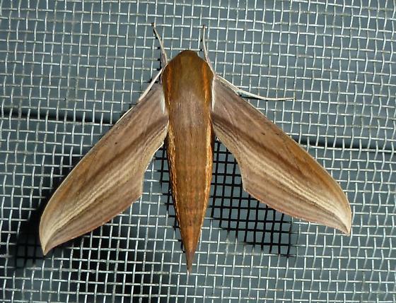 Tersa Sphinx Moth - Xylophanes tersa