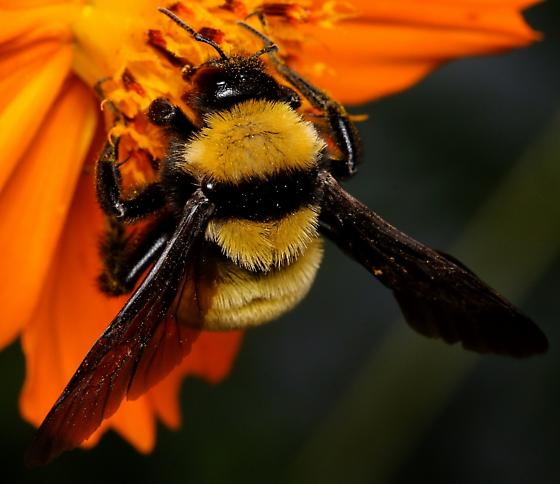 Sonoran Bumble Bee? - Bombus sonorus