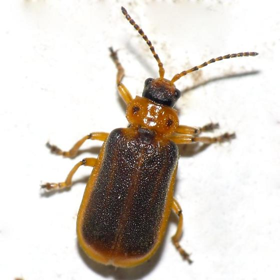 Water-lily Beetle? - Galerucella nymphaeae