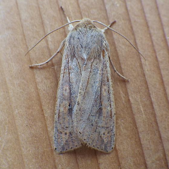 Noctuidae: Mythimna unipuncta - Mythimna unipuncta