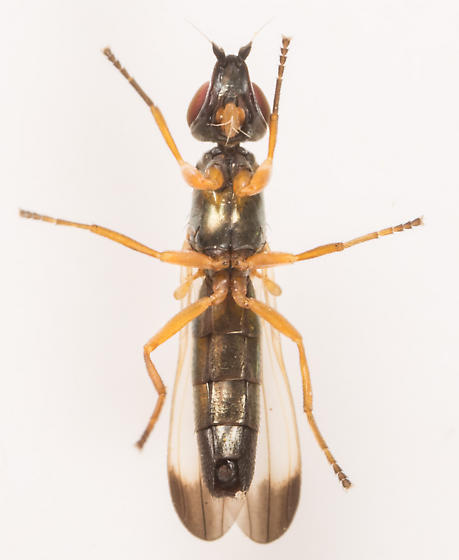Fly - Eumetopiella rufipes