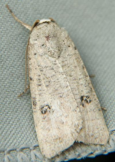 White Moth with Two Spiral Shaped Markings - Anicla digna